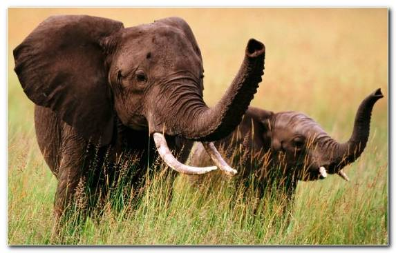 Image Zoo Wildlife African Bush Elephant Terrestrial Animal Africa