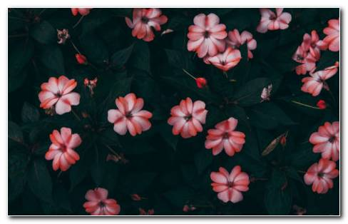 Impatiens HD Wallpaper