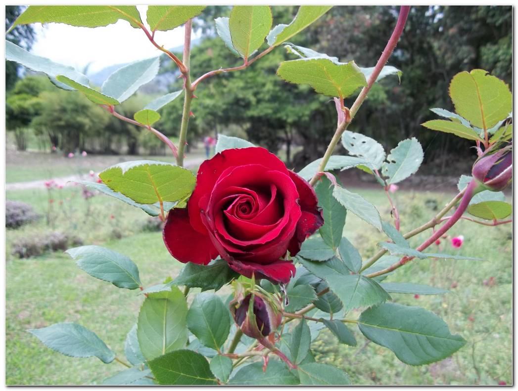 Jard N De Rosas