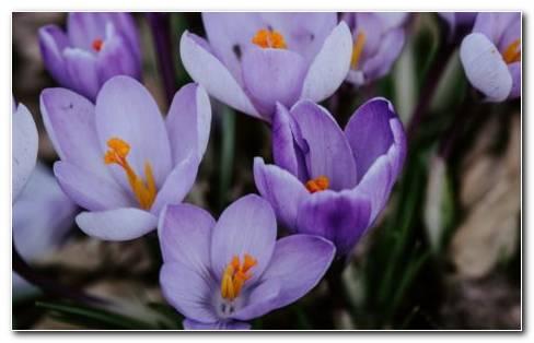 Krokusvakantie Flowers