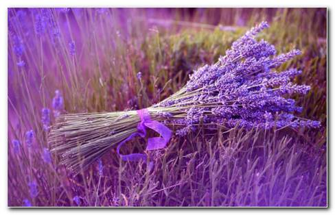 Lavender Flower HD Wallpaper