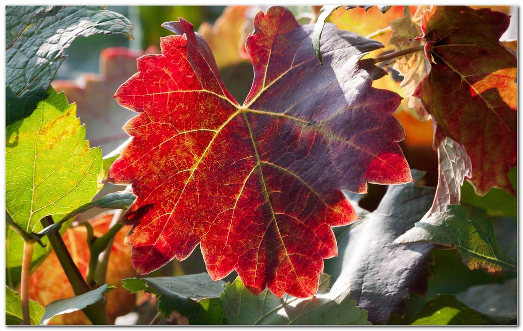 Leaf Autumn Wallpaper Vines