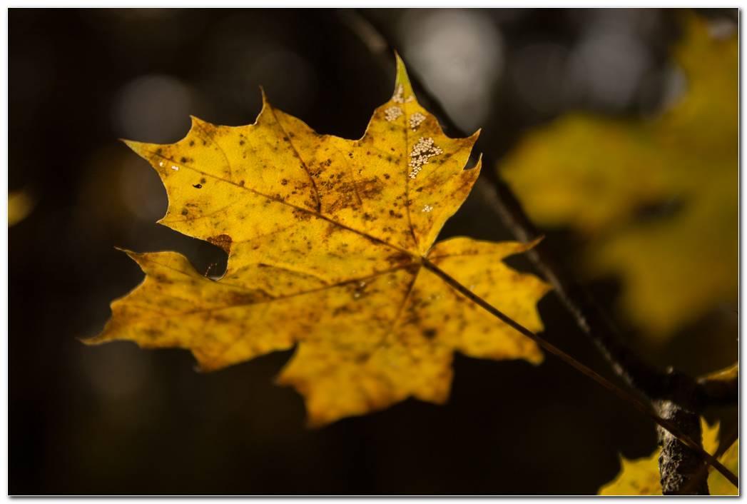 Leaf Maple Autumn Wallpaper
