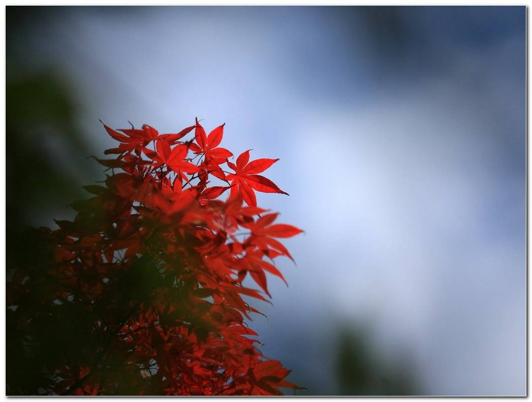 Leaf Red Autumn Wallpaper