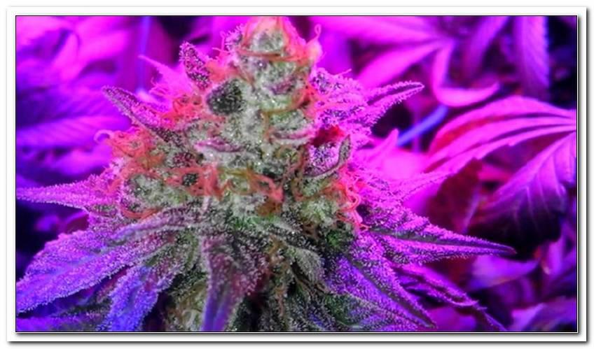 Led Lampen F?R Cannabis Anbau Kaufen