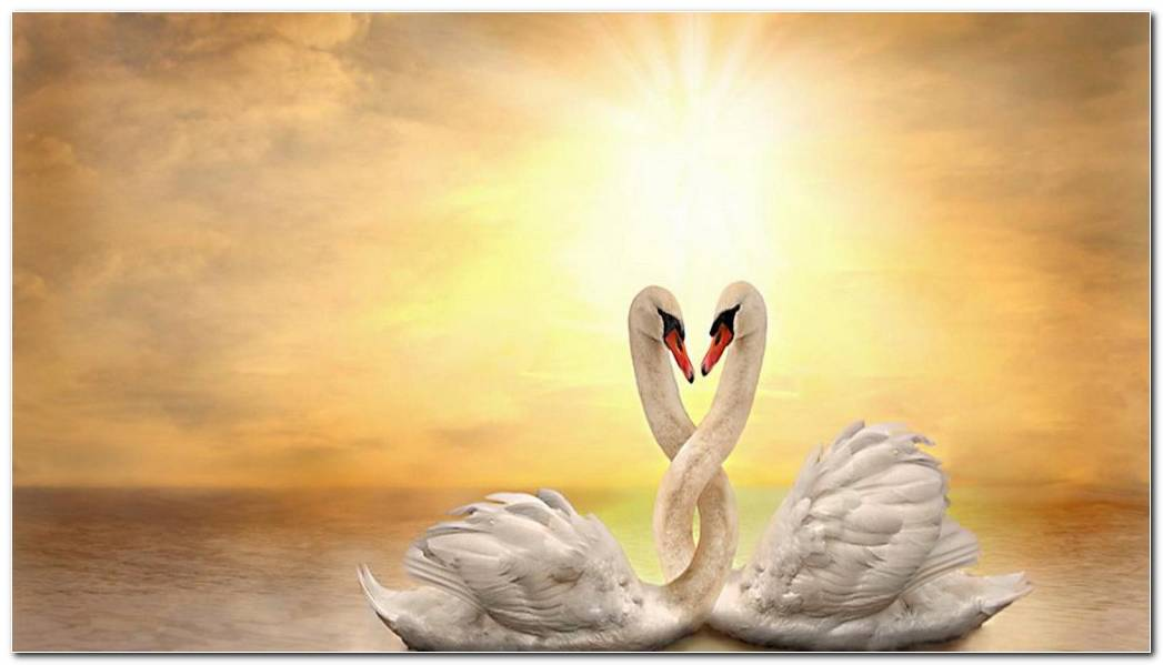 Loving Swan Backgrounds