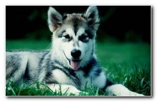 Malamute HD Wallpaper