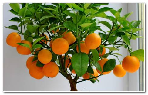 Mandarin Leaves HD wallpaper