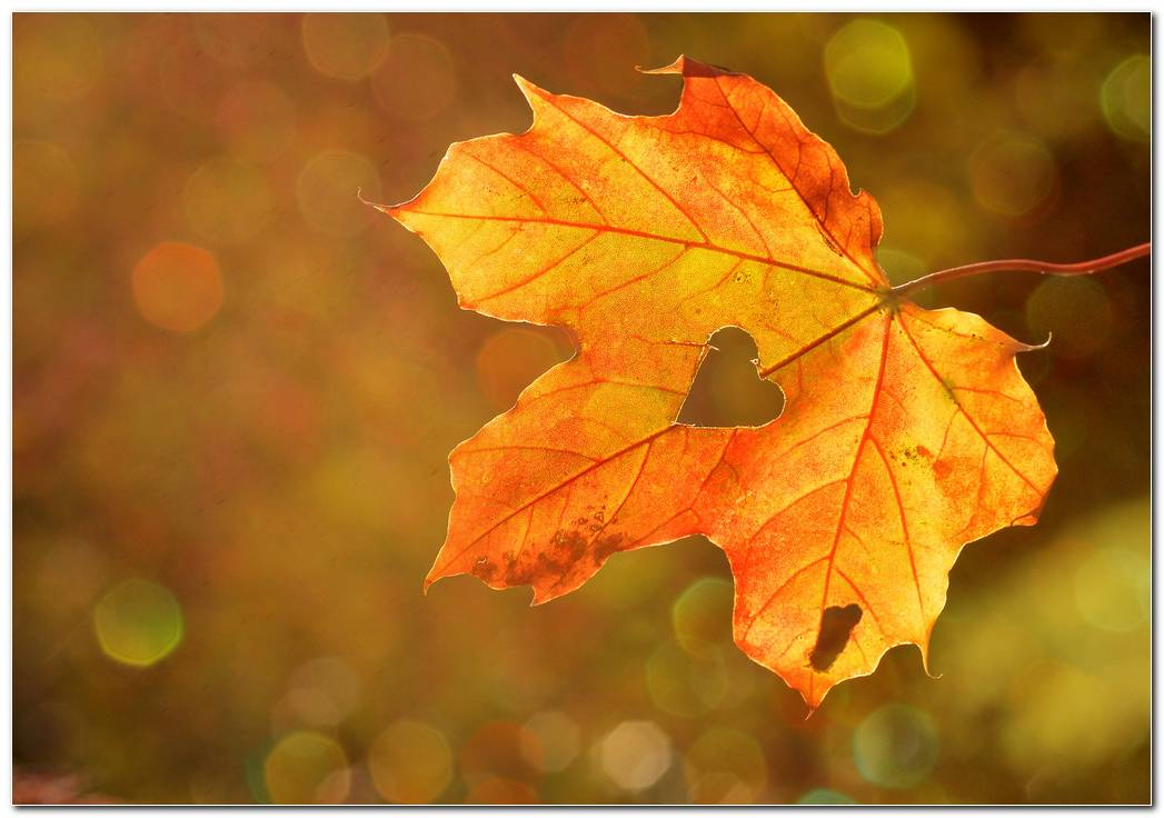Maple Leaf Hd Autumn Wallpaper