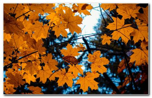 Maple Leaves & Autumn HD Wallpaper