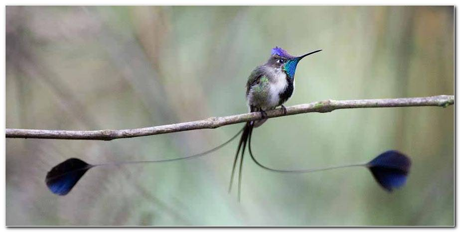 Marvelous Spatuletail Background