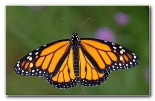 Monarch HD Wallpaper