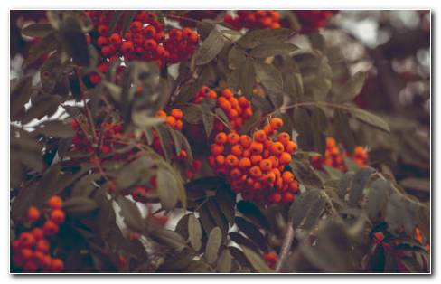 Mountain Ash HD Wallpaper