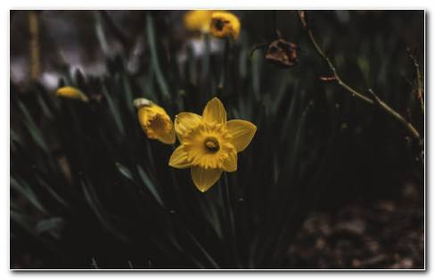 Narcissus Garden HD Wallpaper