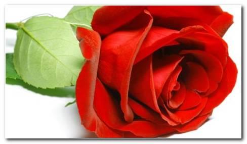 Natural Red Rose HD wallpaper