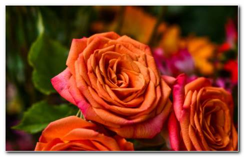 Orange Bud Petals HD Wallpaper