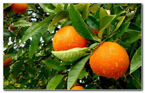 Orange Tree HD Wallpaper