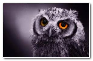 Owl HD Free Download Now Wallpaper