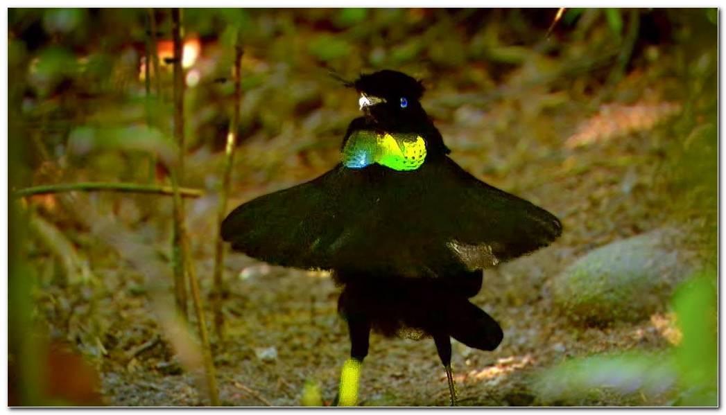Paradise Bird Photos