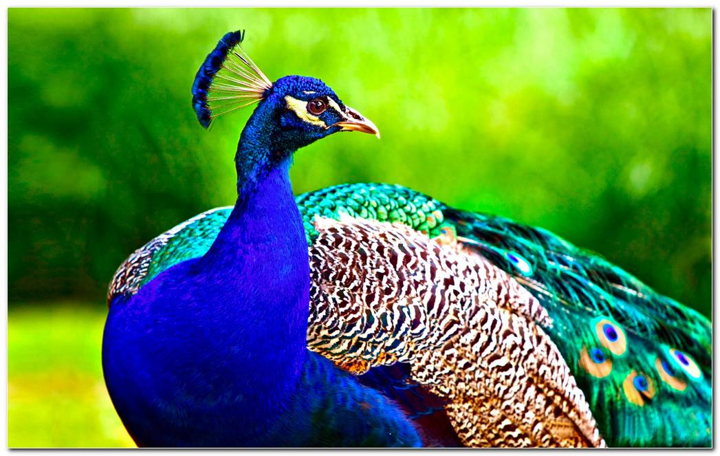 Peacock HD Backgrounds