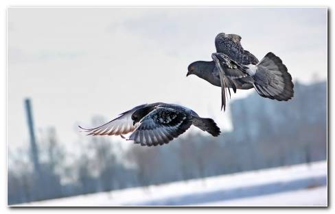 Pigeons Animals Birds Flight Fly Air Wings Feathers Wallpape