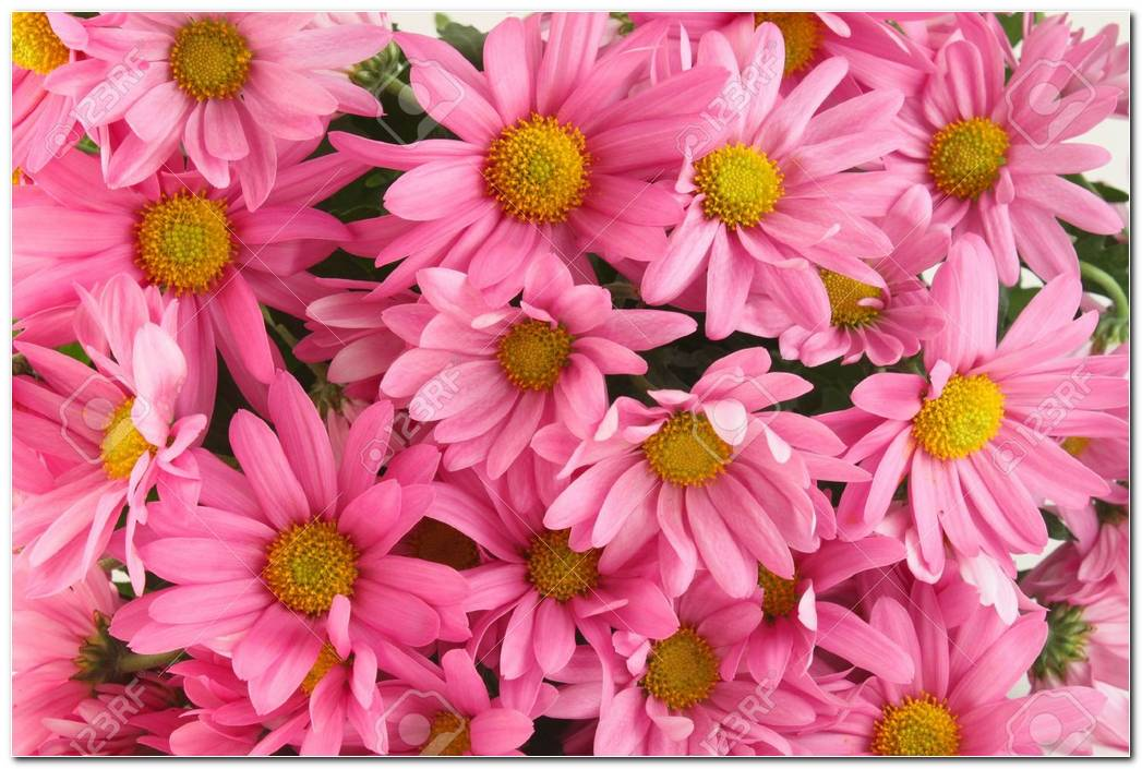 Pink Daisies Flower Background