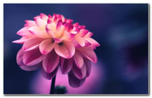 Pink Petals Close Up HD Wallpaper