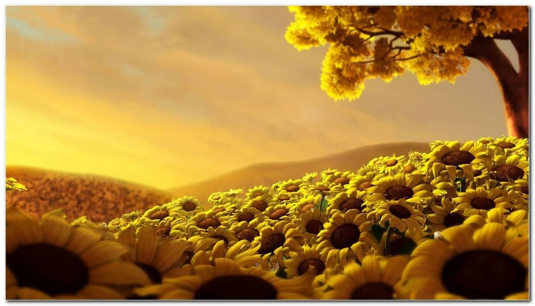 Popular Sunflower Nature Wallpaper Background