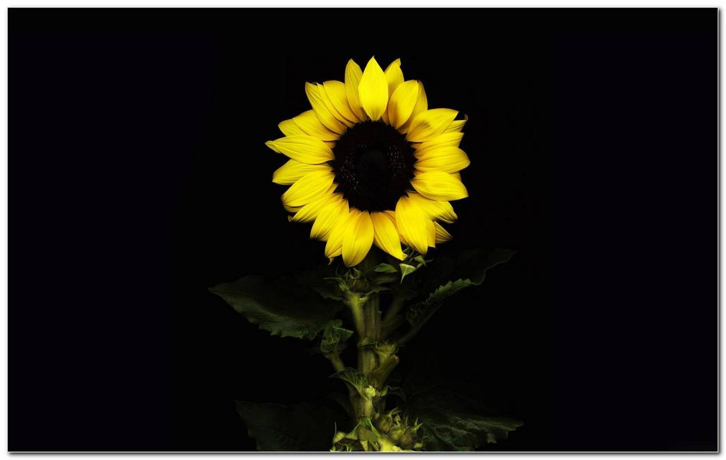 Popular Sunflower Nature Wallpaper Picture Background