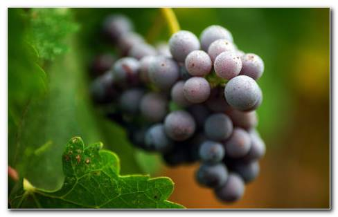 Purple Grapes On Tree HD Wallpaper