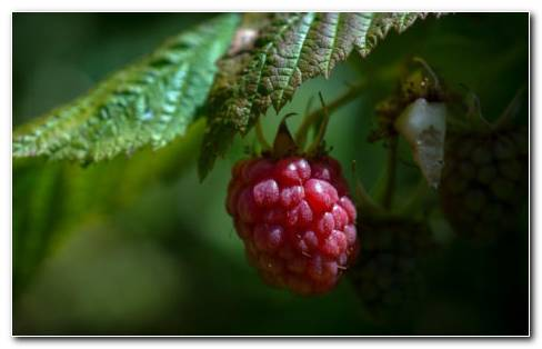 Raspberry HD Wallpaper