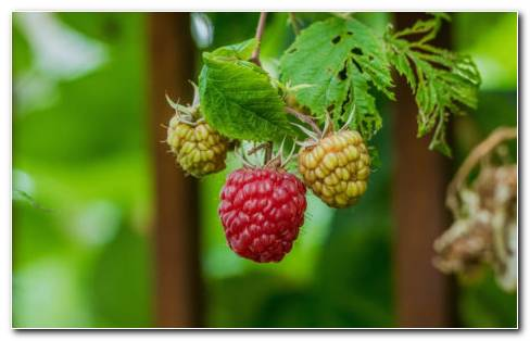 Raspberry bush HD wallpaper