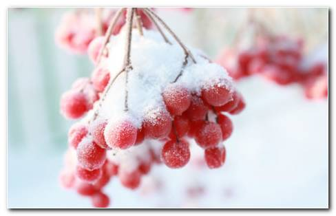 Red Frozen Berries HD Wallpaper
