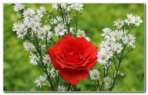 Red & White Flower Garden HD Wallpaper