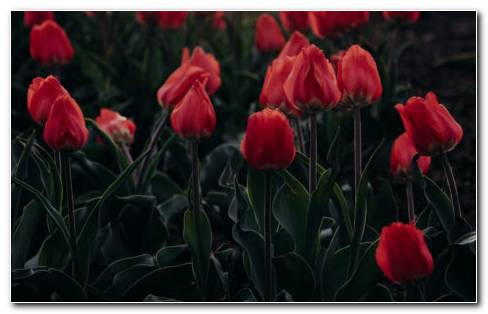 Red Blooming Tulips HD Wallpaper