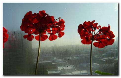 Red Flowers In Windows HD Wallpaper