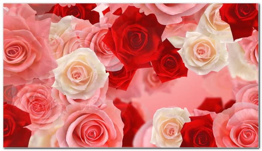 Rose Flower Backgrounds
