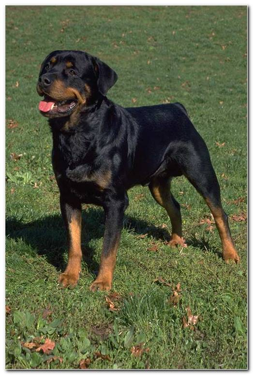 Rottweiler Pictures