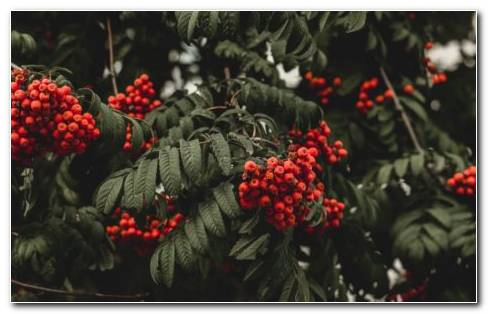 Rowan Berries Edible HD Wallpaper