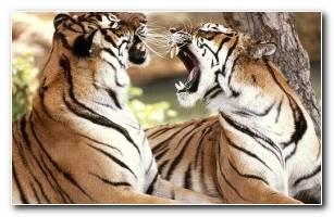 Roya Bengal Tigers 1024 X 768