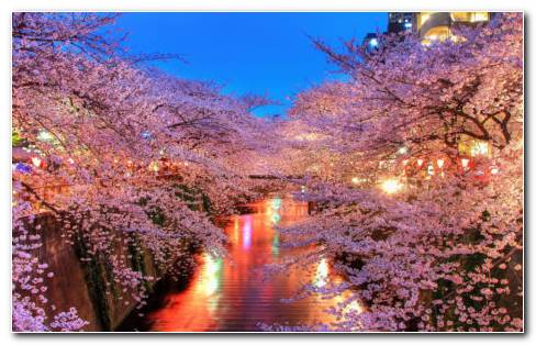Sakura Blossom HD Wallpaper