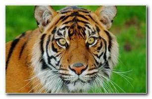 Siberian Tiger Panthera Tigris Altaica 4