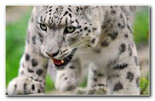 Snow Leopard Wallpaper HD Wallpaper Collection