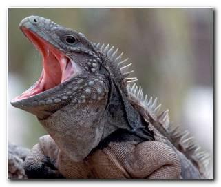 Soar con Iguanas