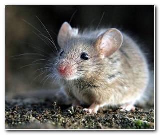 So?ar Con Ratones O Ratas