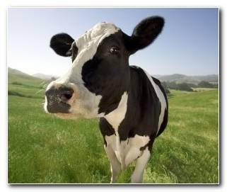 So?ar Con Vacas