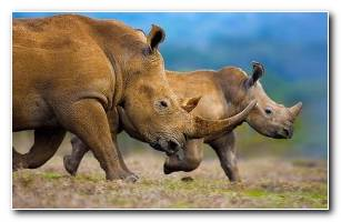 Southern white rhinoceros mother and calf Theo AllofsMasterfile Bing United States