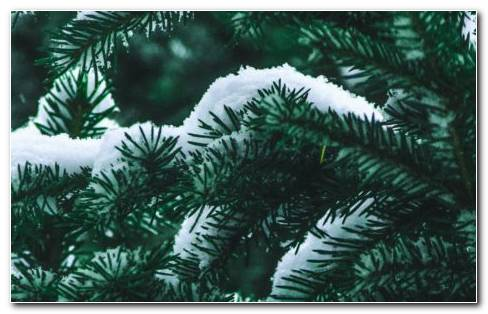 Spruce Tree Coverd With Snow