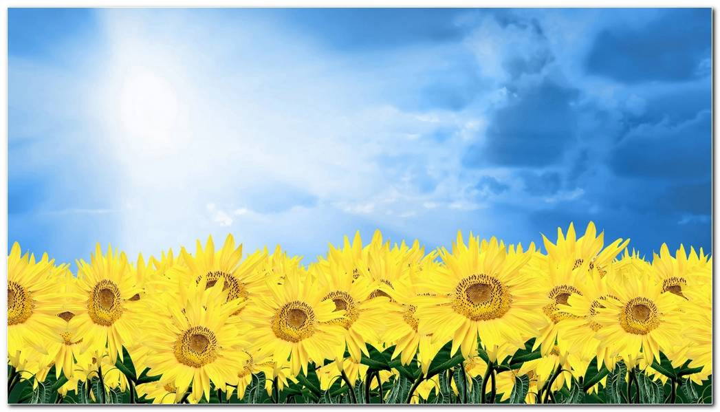 Summer Sunflower Nature Wallpaper Background Image Widescreen