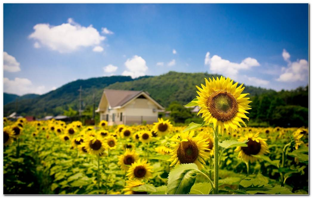 Summer Sunflower Nature Wallpaper Background Image